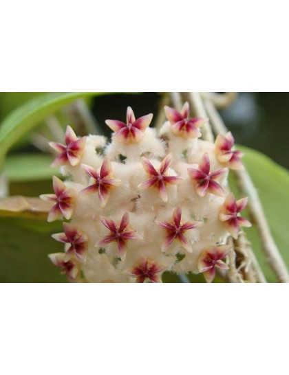 Hoya erythrostemma banglane ( rooted cutting )